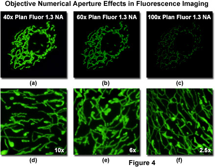 www_microsystemy_ru_articles_Choosing_Objectives_for_Fluorescent_Protein_Imaging