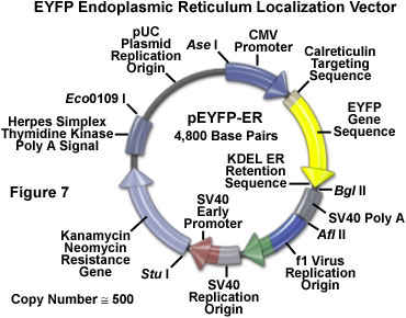 www_microsystemy_ru_articles_Fluorescent_Protein_Vectors_and_Gene_Transfer